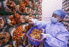 """河南宝丰:引入""""智慧方舱"""" 助力食用菌产业发展"""